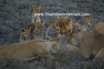 Sư tử Kenya