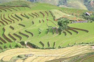 ruộng lúa bậc thang tai sapa